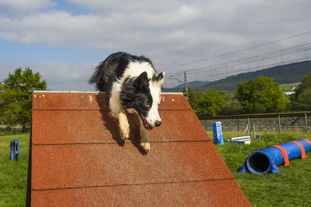 obediencia: Border Collie en el deporte de la agilidad