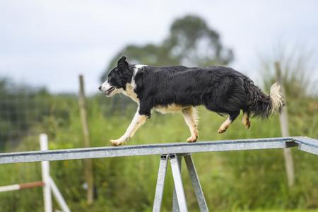 obediencia: Perros practicando el deporte de Agilidad.