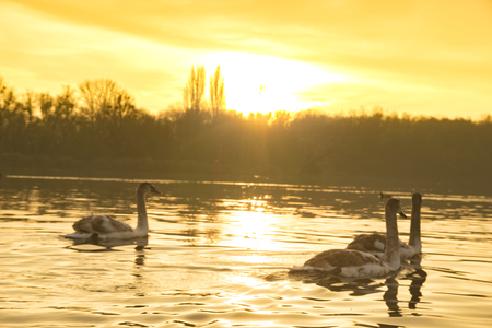 family of swans swimming on the lake at sunrise