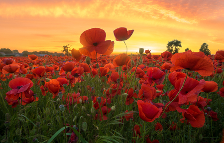 red poppies in the light of the setting sun Foto de archivo
