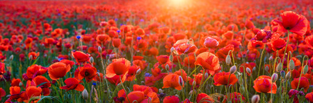 red poppies in the light of the setting sun Banco de Imagens