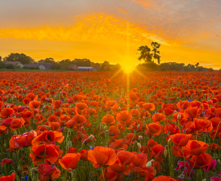 poppy meadow, sunset over red poppies