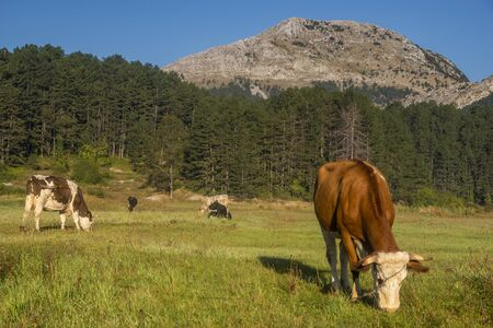 Cow in a mountain pasture