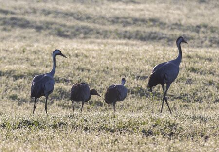 crane family in the autumn field in the morning Standard-Bild - 131947258