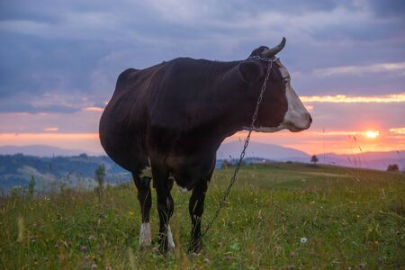 Cow on a mountain pasture at sunset