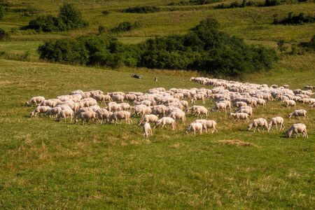 Flock of sheep on a mountain pasture Standard-Bild - 131344879