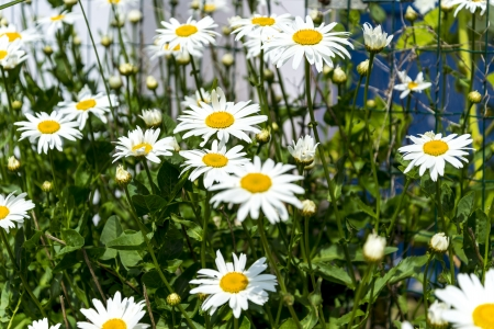 marguerites: beautiful marguerites, with shallow depth of field