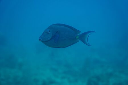 undewater shot of a beautiful blue tang