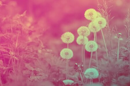 Ripened dandelion flowers is on a creative pink background with bokeh effect during a sunny springtime morning 版權商用圖片
