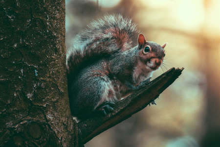 North American squirrel on a little branch in the forest during a sunset Stock fotó - 151152107