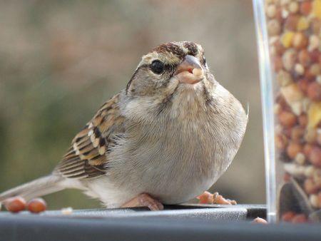 Sparrow Voedingsinstructies Stockfoto - 794893