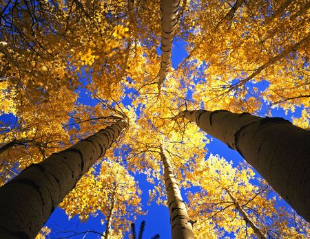 A canopy made from the branches & leaves of aspen trees, photographed during the autumn season. photo