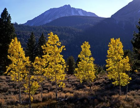 Aspen trees and Mt. Dana in Yosemite National Park, California.