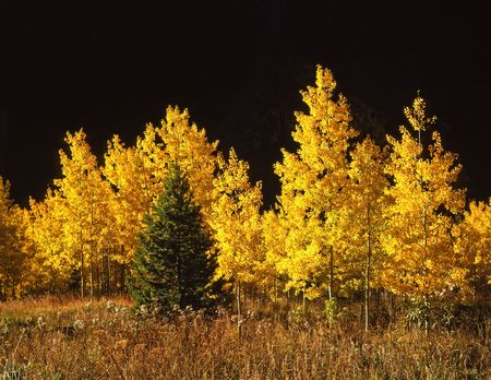 A conifer tree among aspen trees in the White River National Forest, Colorado.