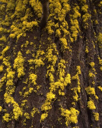 sawtooth national forest: Lichen growing on the bark of a Douglas Fur Tree. Stock Photo