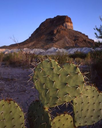 A heart shaped cactus in Big Bend National Park located in west Texas. Stock Photo