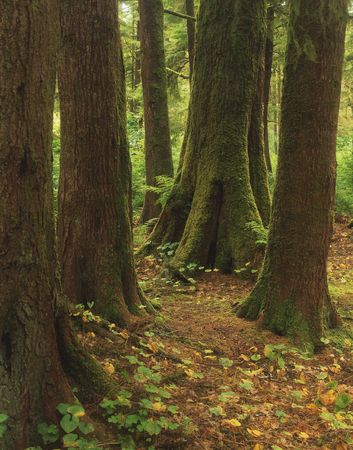 The Hoh Rain Forest in Olympic National Park located in Washington State. Stock Photo