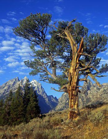 teton: Un vecchio albero in Grand Teton National Park, Wyoming.