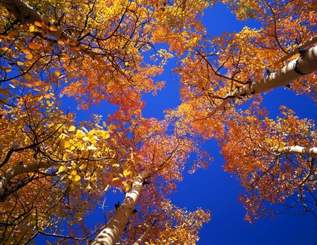 Aspen trees photographed during the autumn season.