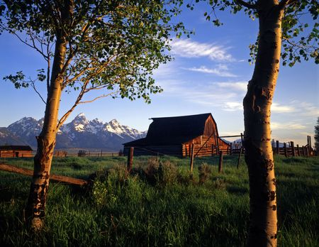Small aspen trees and an old barn in Grand Teton National Park, Wyoming. photo