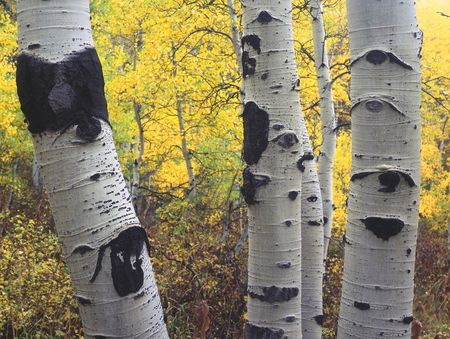 Three aspen trees in the Wasatch-Cache National Forest, Utah. photo
