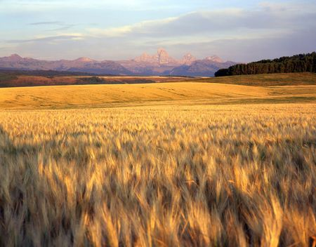 A wheat field in Idaho with the Teton Mountains in the background.