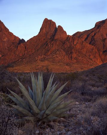 An agave plant with the Chisos Mountains in the background in Big Bend National Park, Texas.