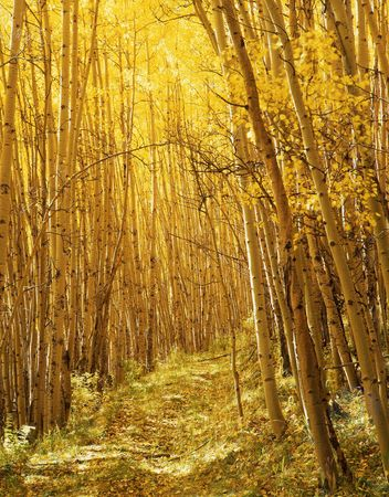 A trail through a stand of aspen trees in the Uncompahgre National Forest, Colorado, photographed during the autumn season. Stock Photo
