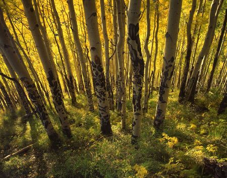 A stand of aspen trees photographed during the autumn season. Stock Photo - 742421