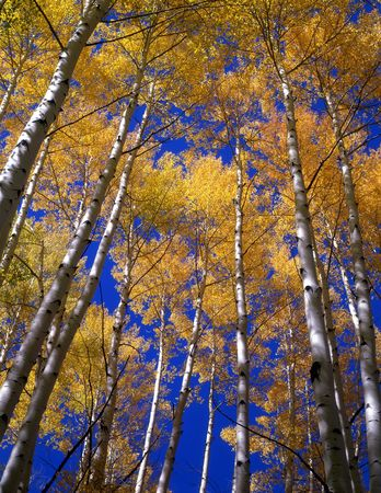 Yellow aspen leaves aginst a blue sky in the Gunnison National Forest of Colorado.