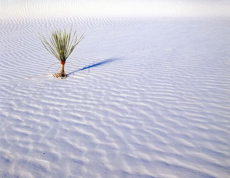 white sands national monument: A small soaptree yucca plant growing in White Sands National Monument, New Mexico.