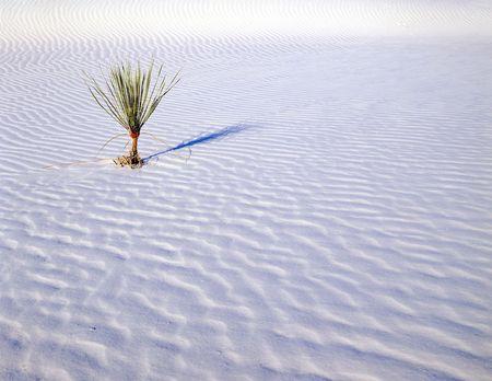 Un peque�o soaptree yuca planta que crece en el Monumento Nacional de White Sands, Nuevo Mexico.  Foto de archivo - 754954