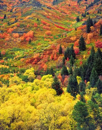 Fall colors on a hillside in the Wasatch-Cache National Forest, Utah. Stock Photo