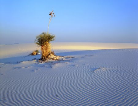 A soaptree yucca plant in White Sands National Monument, New Mexico. Stock Photo