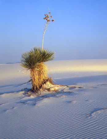 A soaptree yucca plant in White Sands National Monument, New Mexico. Stock Photo - 754473