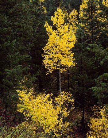Aspen trees in the Uinta National Forest, Utah. Stock Photo - 754481