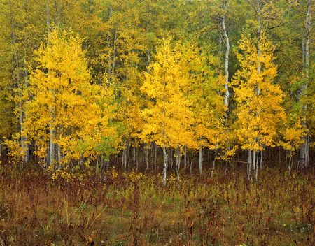 Aspen trees in the Uinta National Forest, Utah.