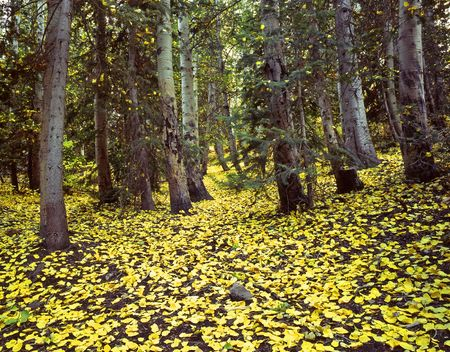 uinta mountains: Yellow aspen leaves on the ground in the Uinta National Forest, Utah.