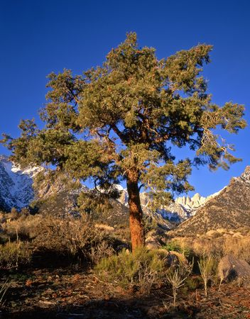 inyo national forest: A pine tree and Mt. Whitney in the Inyo National Forest, California.