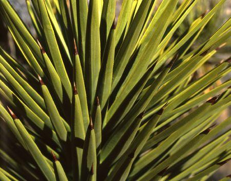 yucca: A majave yucca plant.