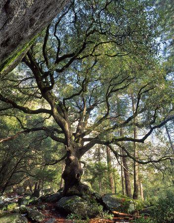 A black oak tree in Yosemite National Park, California. Stock Photo - 766847