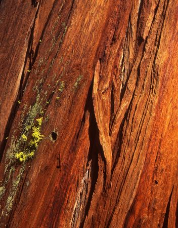 The bark of a redwood tree in California.