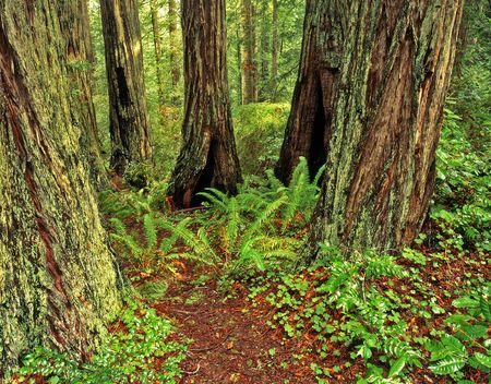 Redwood trees in Redwood Forest National Park, California. Stock Photo
