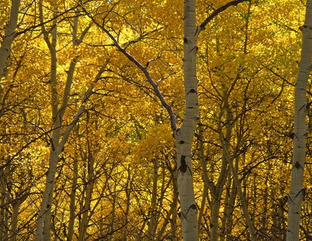 Aspen trees photographed during the autumn season in the Gunnison National Forest of Colorado.