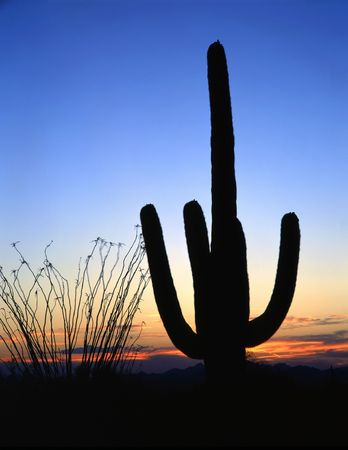 A saguaro cactus, in Saguaro Cactus National Monument, Tucson Arizona, photographed at dusk.