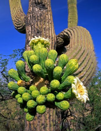 A saguaro cactus, in Saguaro Cactus National Monument, Tucson Arizona, photographed during the spring season. Stock Photo - 777653