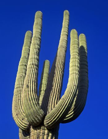 A tall saguaro cactus growing in the Saguaro Cactus National Monument, located in Tucson, Arizona. Stock Photo - 777649