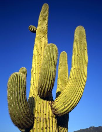 A saguaro cactus, growing in Saguaro Cactus National Monument, located in Tucson, Arizona. Stock Photo