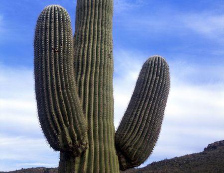 A saguaro cactus, growing in Saguaro Cactus National Monument, located in Tucson, Arizona. Stock Photo - 777646