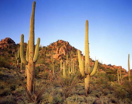 A hillside of saguaro cacti, growing in the Saguaro Cactus National Monument, located in Tucson, Arizona. Stock Photo